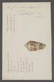 Conus ammiralis - - Print - Iconographia Zoologica - Special Collections University of Amsterdam - UBAINV0274 086 07 0002.tif