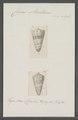 Conus maldivus - - Print - Iconographia Zoologica - Special Collections University of Amsterdam - UBAINV0274 086 07 0049.tif