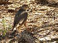 Cooper's Hawk - Flickr - treegrow (1).jpg