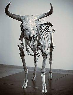Aurochs An extinct species of large wild cattle that inhabited Asia, Europe, and North Africa