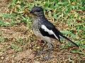Copsychus saularis -Dharga Town, Sri Lanka -juvenile-8.jpg