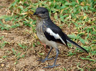 Oriental magpie-robin - Juvenile with scaly markings (Sri Lanka)