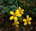 Coreopsis mutica 1.jpg