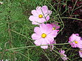 Coreopsis rosea-3-yercaud-salem-India.JPG