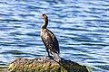 Cormorant (43482826084).jpg