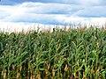 Corn Fields Galore (4962390365).jpg