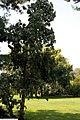 Cornus florida Pendula 3zz.jpg