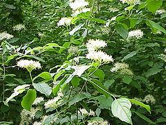 Sviba wikipedija for Arbusto dai fiori rosa e bianchi