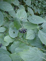 Svíb krvavý - listy a plody