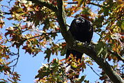 Carrion crow in Nancy
