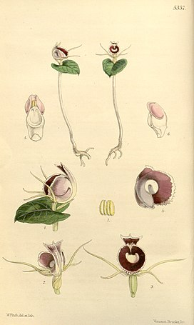Corybas pictus (as Corysanthes limbata) - Curtis' 89 (Ser. 3 no. 19) pl. 5357 (1863).jpg