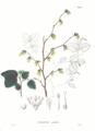 Corylopsis pauciflora SZ20.png