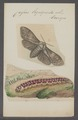 Cossus - Print - Iconographia Zoologica - Special Collections University of Amsterdam - UBAINV0274 055 08 0002.tif