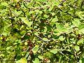 Cotoneaster nummularius 5.jpg