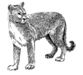 Cougar (PSF).png