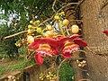 Couroupita guianensis - Cannon Ball Tree at Peravoor (1).jpg