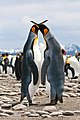 Courting King Penguins.jpg