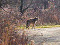 Coyote roaming Greene Valley Forest Preserve.jpg