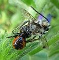 Crab Spider (Synema globosum), male with prey (Eucera sp.) - Flickr - gailhampshire.jpg