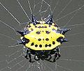 Crablike Spiny Orb Weaver.jpg