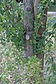 Crataegus monogyna water sprouts (02).jpg