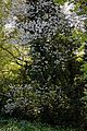 Crataegus persimilis 'Prunifolia' at Myddelton House, Enfield, London, England.jpg