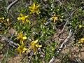 Creosote bush, Larrea tridentata (15205639513).jpg