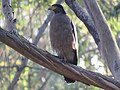 Crested serpent eagle IMG 6998.jpg