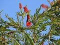 Crimson Sunbird - Aethopyga siparaja - P1030359.jpg