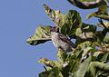 Crithagra mennelli, Cecil Kop, Mutare, Birding Weto, a.jpg