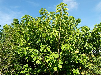Croton sylvaticus - Image: Croton sylvaticus