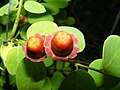 Cup and Saucer Plant Holmskioldia sanguinea by Raju Kasambe DSCF9933 (1) 03.jpg
