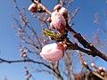 Cvijet gorične breskve (zatvoren).jpg