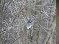 Cyanocitta cristata (blue jay) (Newark, Ohio, USA) 5.jpg