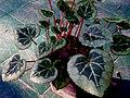Cyclamen persicum silver.jpg