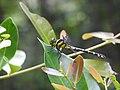 Cyclogomphus flavoannulatus female.jpg