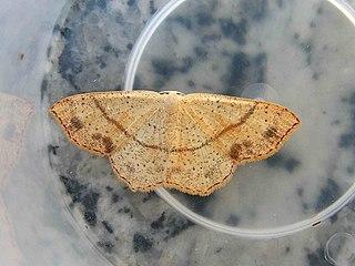 Cyclophora.punctaria.jpg
