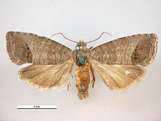 Codling moth - Female
