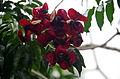 DO-sapindaceae-04.jpg