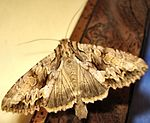DSC07346 British Moths.jpg