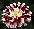 """Dahlia - """"Lombada"""" cultivar.jpg"""