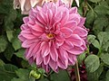 Dahlia from lalbagh 1943.JPG