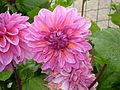 Dahlia hybriden 0.0 R.jpg