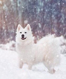 dansk spids hund