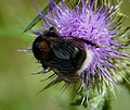 Dark Queen Tree Bumblebee. Bombus hypnorum (25774953628).jpg