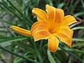 Daylilies Unknown - 9338705144.jpg