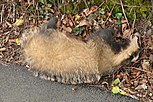 Dead badger in Plymouth.jpg