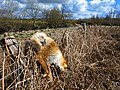 Dead fox by the Tarf Water - geograph.org.uk - 751204.jpg
