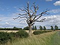 Dead tree in the landscape near Sawtry - geograph.org.uk - 1420757.jpg