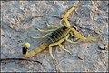 Deathstalker (Leiurus quinquestriatus) 1.jpg